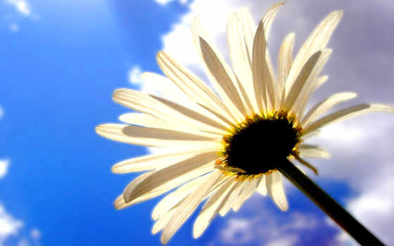 небо, ромашка, цветы, oblaka, shadow, cvety, summer,