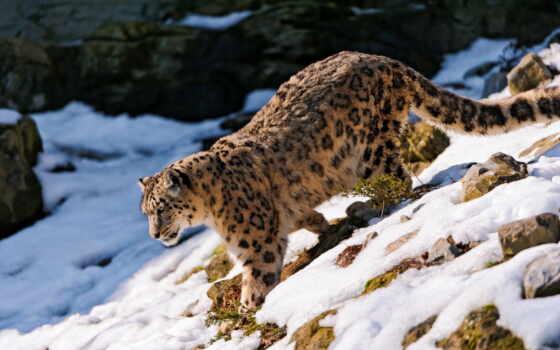 снег, леопард, ирбис, большие, кошки, hunting, дикая,