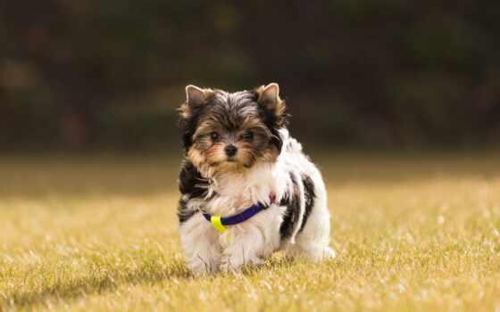 собака, бультерьер, biewer, cute, картинка, side, бобр, щенок, трава