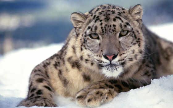 снег, леопард, книга, красная, книгу, россии, красную, uncia, ирбис, zhivotnye,