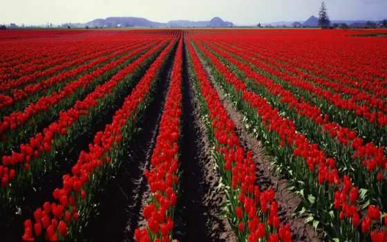 red, tulips, ферма, роза, images, поле, flowersland, flowers, цветы,