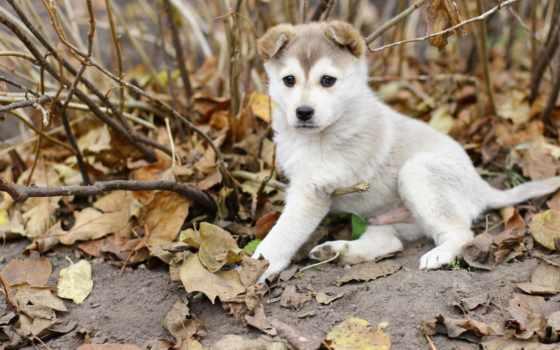 хаски, собака, щенок, листва, осень,
