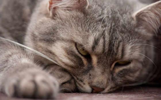 лежит, кот, zhivotnye