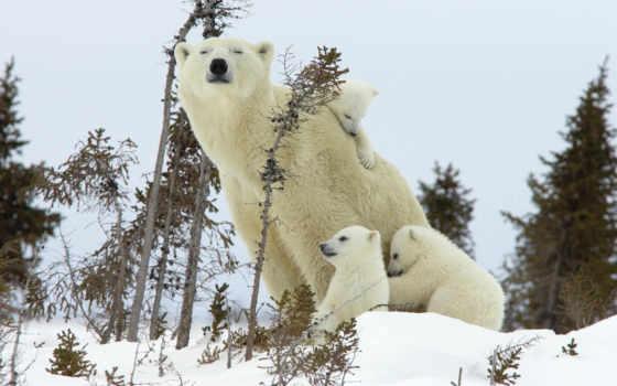 медведь, самый, мире, white, большой, хищник, может, молотый, который, является,