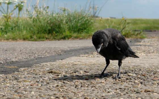 ворона, птица, summer, дорога, природа, крылья,,