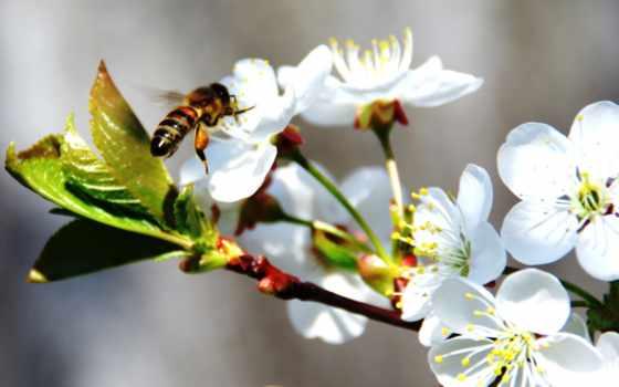 цвету, весна, яблоня, яблони, branch, нажми, увеличения, пчелка, цветение, trees, очень,