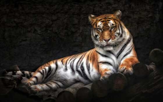 тигр, вектор, фото, кот, million, royalty, illustration, shutterstock, тыс, ложь