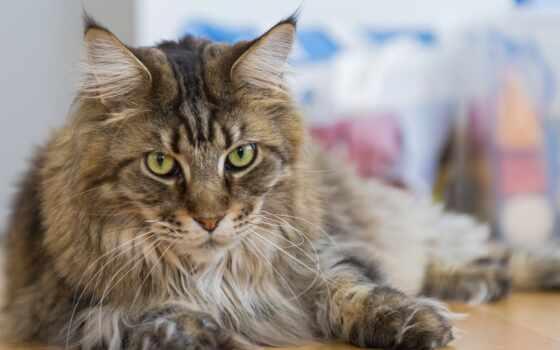 мэн, кун, кот Фон № 50909 разрешение 1920x1080