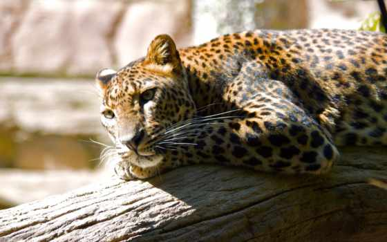 леопард, отдых, zhivotnye