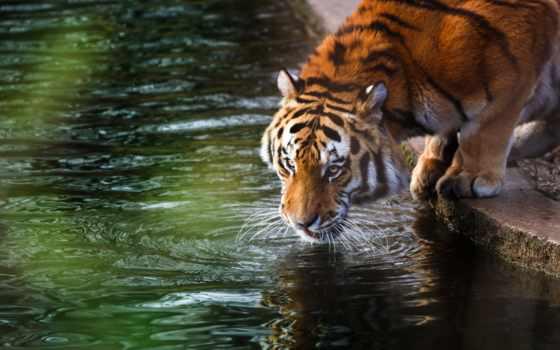 тигр, фотографий, white, красавица, ish, которые, качества, воду, собраны, pet, сайте,