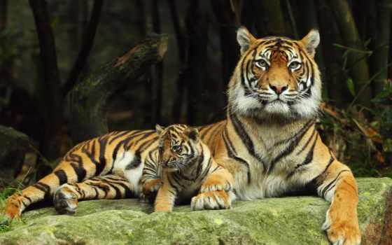 тигр, zoo, live, taronga, see, tigers, android,
