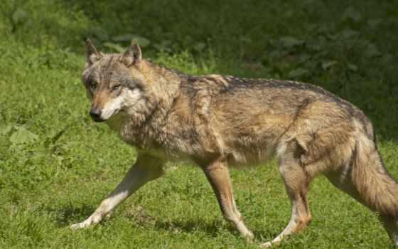 loup, волк, dans, var,