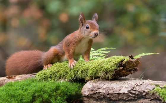 природа, animal, протеин, живопись, мох, зверек