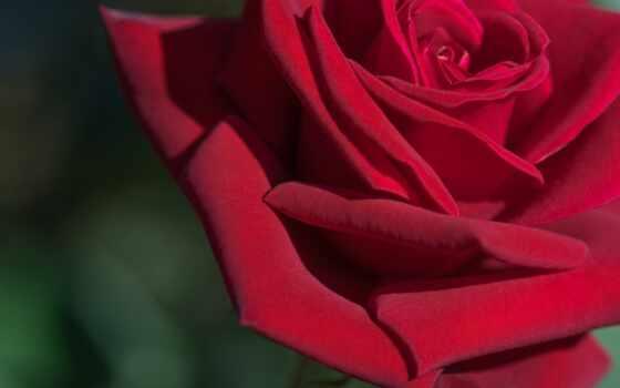 garden, роза