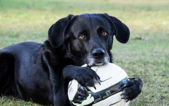 футбол, labrador, wallpaperscraft, собака, beltyi, color, amarillo, который