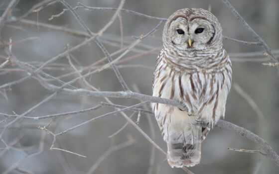 сова, неясыть, длиннохвостый, сообщение, ответить, род, птица, strix, uralensis, снег