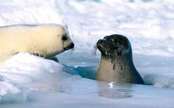 тюлени, fish, тюленей, февр, тюленя, гренландского, детеныши, тюлень, that,