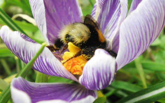 пчелка, цветы, bumble, bumblebee, лепестки,