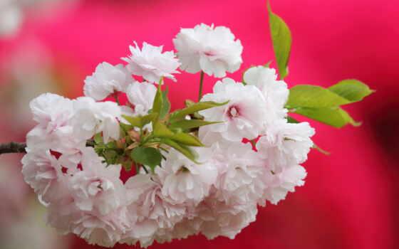 web, шаблон, cherry, dianthus, розовый, дерево