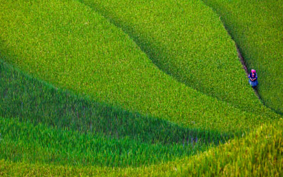 поле, сделать, рис, газон, устройство, природа, мужчина, зелёный, китаянка, терасса, трава