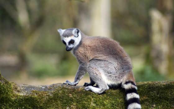 lemur, кольцехвостый, зи, трава, крик, полосатый, просмотреть,