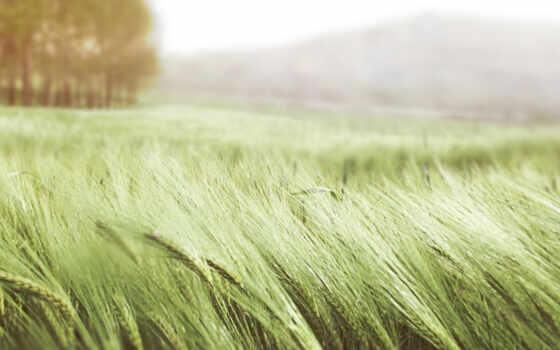 поле, summer, колосья