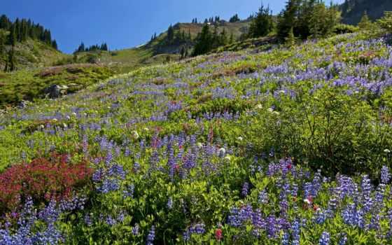 flowers, prairie, bokeh, природа, lupinus, lupine, гора, изображение, photos,