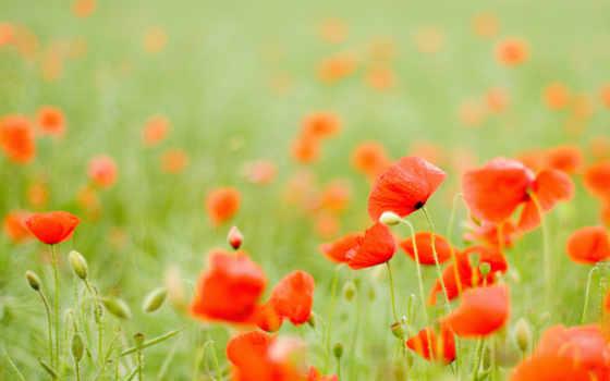 маки, красные, поле, cvety, бутоны, фотографий,