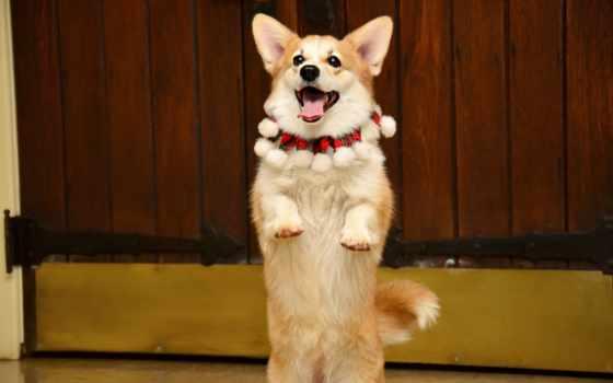 собака, задних, лапах, corgi, стоит, вельш, породы, собаки,