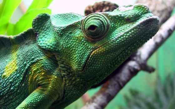 chameleon, фон, взгляд, лейбл, mobile, качество, ton