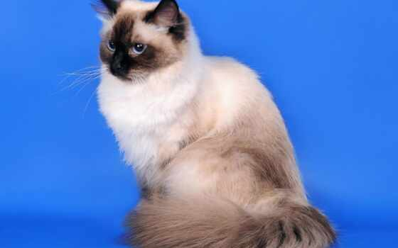 кот, neva, masquerade, порода, feature, siberian, уход, content, сиамский, история