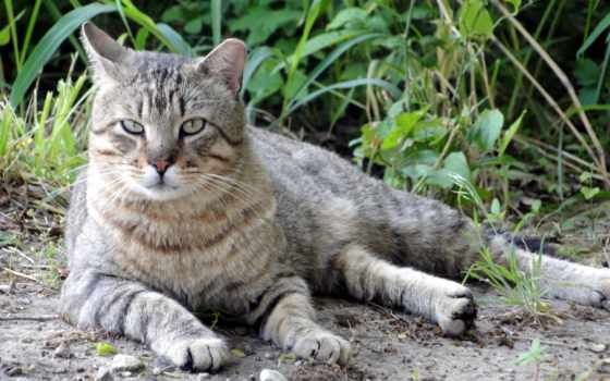 cat, tiger
