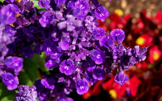 flowers, цветы, purple