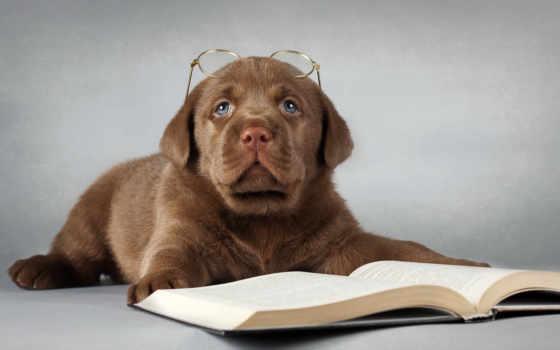 labrador, собака, очки