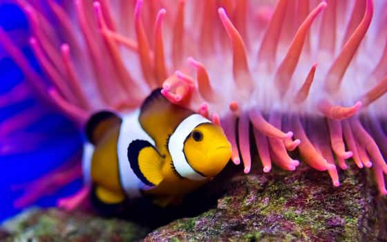 клоун, fish, anemone, water, море, diving,