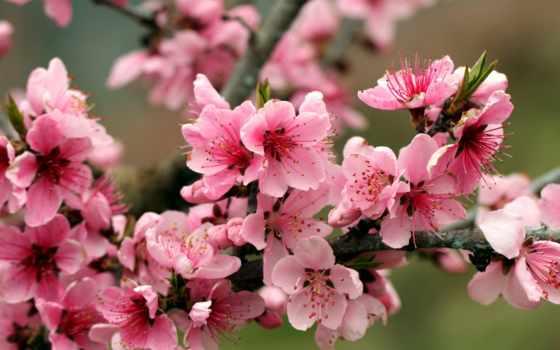 cherry, цветущая, Сакура,