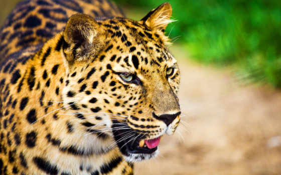 леопард, морда, взгляд, большая, ус, телефон, кот, леопарды,