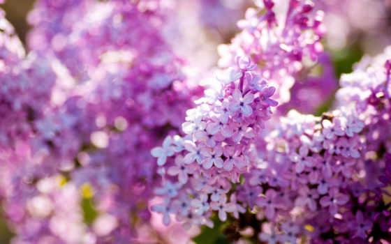 сиреневый, весна, природа, cvety, цветение, макро,
