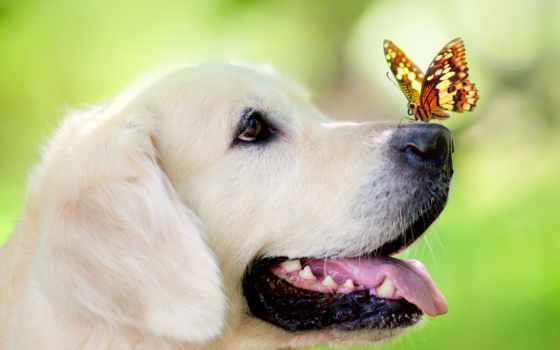 собака, морда, порода