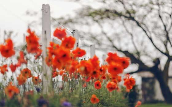 poppy, поле, дерево, greenery, цветы, растение, трава, free