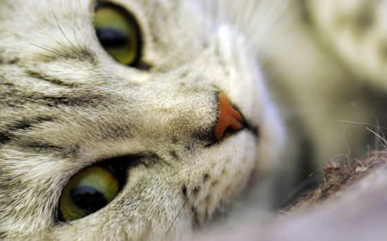 бенгальская кошка, полосатый кот,