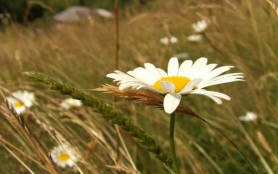 ромашка, поле, цветы