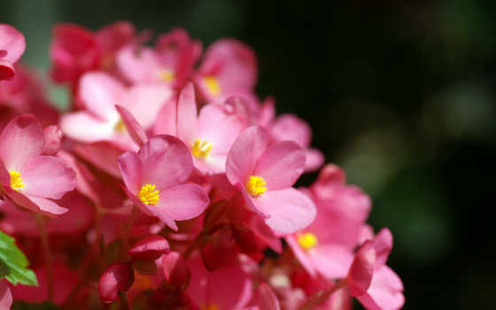 цветы, графика, категория
