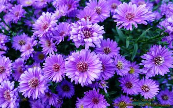 purple, flowers, roses, ordered, browsing, newest, страница,