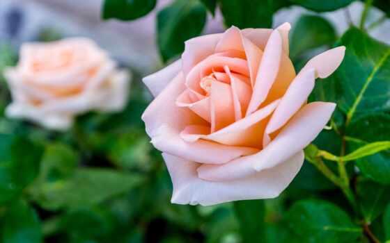 роза, fone, листьями, размытом, кремовая, розы, озерчанка, бутонами, сиреневая, говорит,