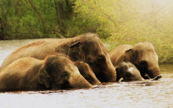 elephants, слон, water, animal, photos, трава,