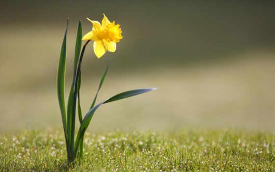 narcissus, весна, природа, cvety, цветы, фоны, browse, метки, телефон, трава,