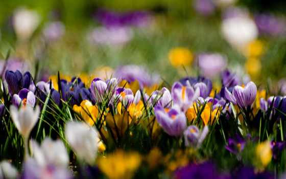 весна, cvety, крокусы, желтые, поляна, фиолетовые,