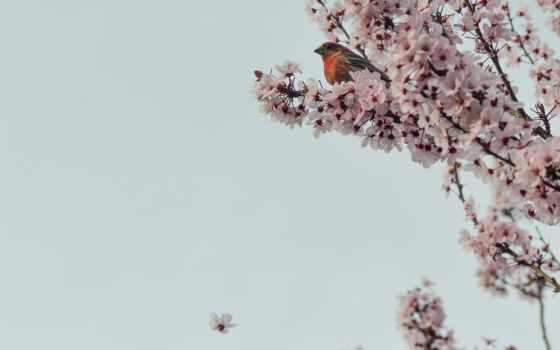 branch, дерево, картинка, цветение, Сакура, цветы, cherry, природа