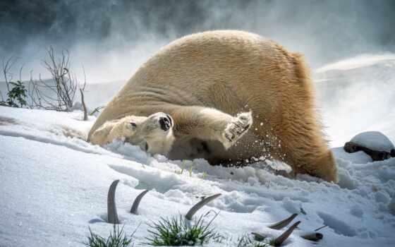медведь, polar, природа, smartphone, планшетный, снег, поза, компьютер, animal, устройство